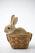 Basket Head Posters - Bunny In Basket On White Background Poster by American Images Inc