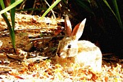 Bdmeredith Prints - Bunny Rabbit Print by Brian D Meredith
