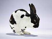 Bunny Rabbit Cleaning Itself Print by Evan Kafka