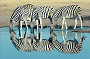 Waterhole Framed Prints - Burchells Zebra (equus Burchelli) Drinking At Waterhole, Etosha, Namibia Framed Print by Digital Vision.
