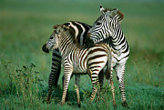 Ai Prints - Burchells Zebra Equus Burchellii Female Print by Ferrero-Labat