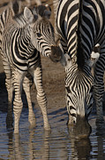 Young Horses Prints - Burchells Zebra Equus Burchellii Mother Print by Pete Oxford