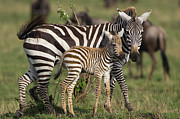 Young Horses Prints - Burchells Zebra Equus Burchellii Mother Print by Suzi Eszterhas