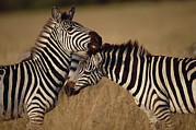 Quarter Horse Framed Prints - Burchells Zebra Equus Burchellii Pair Framed Print by Gerry Ellis