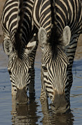 Zebra Face Prints - Burchells Zebra Equus Burchellii Pair Print by Pete Oxford
