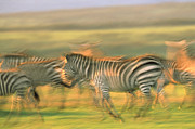 Group Of Horses Posters - Burchells Zebra Group Running Kenya Poster by Tim Fitzharris