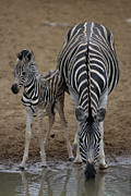 Waterhole Framed Prints - Burchells Zebra With Foal Framed Print by Peter Chadwick