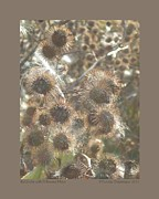 Seedpods Prints - Burdock with Milkweed Floss Print by Patricia Overmoyer
