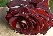 Burgundy Rose Print by Svetlana Sewell