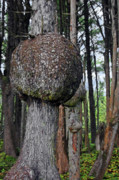 Form Art - Burly Phantoms - Spruce Burls Beach One Olympic National Park WA by Christine Till