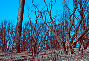 Burned Prints - Burned Trees and the sky Print by Irina  March