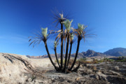 Road Trip Framed Prints - Burnt palm trees in the desert Framed Print by Pierre Leclerc
