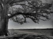 Roadside Photos - Burr Oak Tree by Jane Linders
