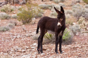 Donkey Foal Prints - Burro Foal Print by James Marvin Phelps
