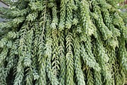 Burro Metal Prints - Burros Tail Foliage Metal Print by Photostock-israel