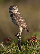 Burrowing Owl Framed Prints - Burrowing Owl 2 Framed Print by Wade Aiken