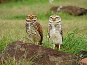 Rio Grande Prints - Burrowing Owl Print by Antonello