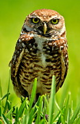 Bruce Colin - Burrowing Owl