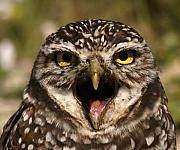 Burrowing Owl Framed Prints - Burrowing Owl Eye To Eye Framed Print by Max Allen