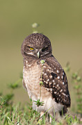Owl Metal Prints - Burrowing Owl Fledgling III Metal Print by Clarence Holmes
