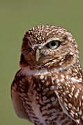 Refuge Digital Art Prints - Burrowing Owl looking at you Print by Mark Duffy
