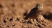 Burrowing Owl Framed Prints - Burrowing Owl Looking Back Over Shoulder Framed Print by Max Allen