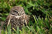 Burrowing Owl Framed Prints - Burrowing Owl Framed Print by Mandy Wiltse