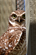 Refuge Digital Art Prints - Burrowing Owl on enclosed window seal Print by Mark Duffy