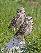 Owl Pyrography Metal Prints - Burrowing Owl Pair Metal Print by David Martorelli