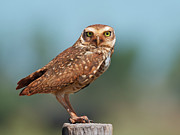 Yellow Eyes Posters - Burrowing Owl Poster by Peter Schoen