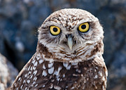 Owl Pyrography Metal Prints - Burrowing Owl Portrait Metal Print by David Martorelli