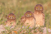 Immature Posters - Burrowing Owl Siblings Poster by Clarence Holmes