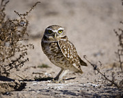 Larry Gambon - Burrowing Owl Strikes a...