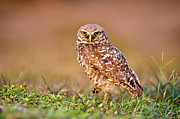 Full-length Portrait Posters - Burrowing Owl Poster by TNWA Photography