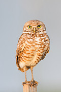 Owl Metal Prints - Burrowing Owl V Metal Print by Clarence Holmes
