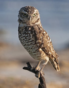Burrowing Owl Framed Prints - Burrowing Owl Framed Print by Wade Aiken