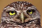 Owl Metal Prints - Burrowing Owl With Attitude Metal Print by Bruce J Robinson