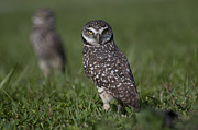 Robert Wicker - Burrowing Owls