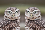 Close-up Portrait Posters - Burrowing Owls Poster by Tony Emmett