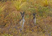 Australian Bush Prints - Bush Kangaroos Print by Tony Brown