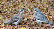 Pair Framed Prints - Bush Stone Curlew Pair Framed Print by Mike  Dawson