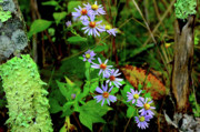 Aster  Acrylic Prints - Bushy Aster in Sumac Grove Acrylic Print by Thomas R Fletcher