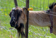 Goat Photography - Busted by Mike  Dawson