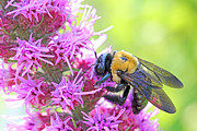 Busy As A Bee Print by Becky Lodes