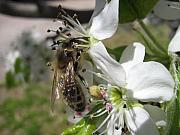 Bugs Photos - Busy Bee 2 by Rebecca Shupp