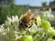 Bees Photos - Busy Bee 5 by Rebecca Shupp