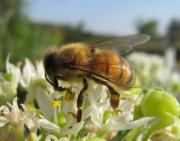 Bees Photos - Busy Bee 6 by Rebecca Shupp