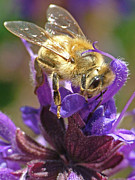 Honey Bee Photos - Busy Bee by Katie LaSalle-Lowery