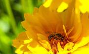 Macro Photography Metal Prints - Busy Bee  Metal Print by Scott McGuire