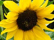 Sunflower Photos - Busy Bee by Sonya Chalmers